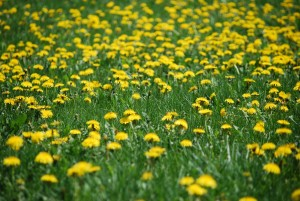 Beloved Dandelions