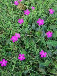 wildflowers pink